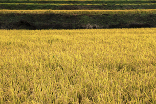 秋の田んぼ、収穫前の稲の写真素材 [FYI04941161]