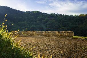 秋の田んぼ、収穫後の稲の写真素材 [FYI04941177]