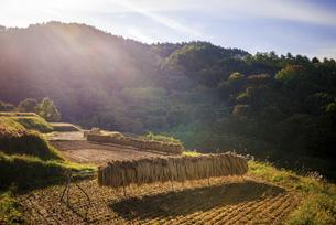 秋の田んぼ、収穫後の稲の写真素材 [FYI04941183]