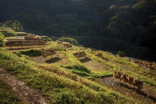 秋の田んぼ、収穫後の稲の写真素材 [FYI04941186]