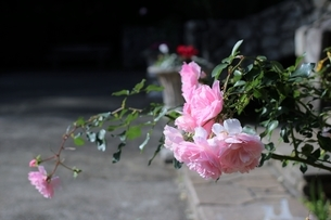 庭園を彩るピンクの薔薇(ボニカ'82)の写真素材 [FYI04941229]