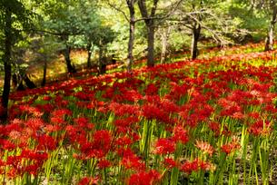 林の中に咲く満開の彼岸花 村上緑地公園の写真素材 [FYI04941231]