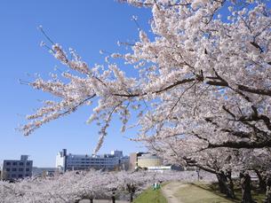 五稜郭公園の桜の写真素材 [FYI04941339]