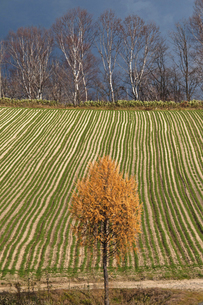 秋の緑のムギ畑とカラマツの写真素材 [FYI04941408]