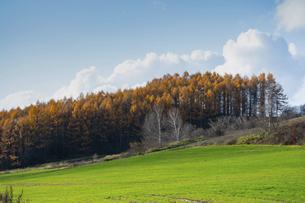 秋の黄金色のカラマツ林と秋の畑の写真素材 [FYI04941431]