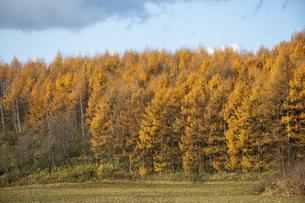 秋の黄金色のカラマツ林と秋の畑の写真素材 [FYI04941432]
