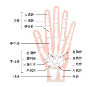 手の骨格・人体模型 イラスト / 骨名記載のイラスト素材 [FYI04941512]