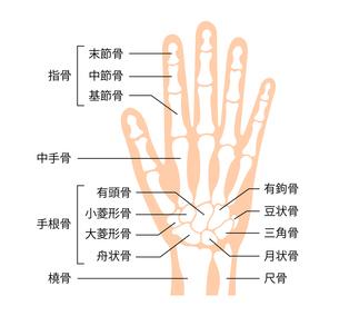 手の骨格・人体模型 イラスト / 骨名記載のイラスト素材 [FYI04941520]