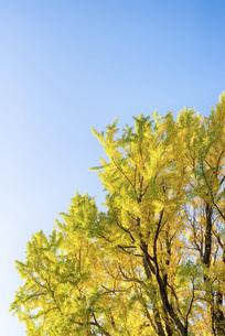 秋の銀杏の木の写真素材 [FYI04941765]