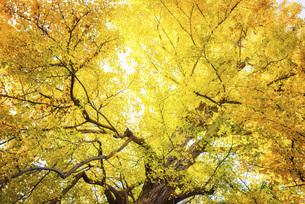 秋の銀杏の木の写真素材 [FYI04941773]