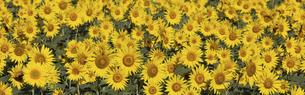 バナーサイズに切り抜いたヒマワリの花畑の写真素材 [FYI04941973]