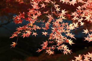 紅葉の楓の写真素材 [FYI04942029]