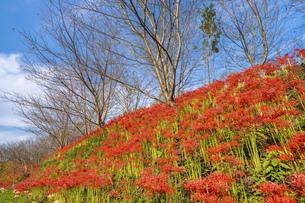 【香川県 三豊市】彼岸花が満開の秋の宝山湖の写真素材 [FYI04942289]