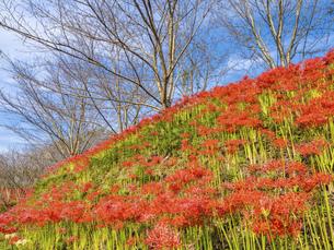 【香川県 三豊市】彼岸花が満開の秋の宝山湖の写真素材 [FYI04942290]