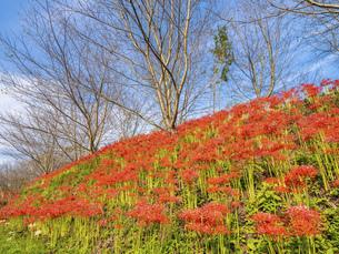 【香川県 三豊市】彼岸花が満開の秋の宝山湖の写真素材 [FYI04942292]