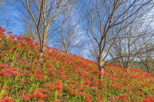 【香川県 三豊市】彼岸花が満開の秋の宝山湖の写真素材 [FYI04942301]