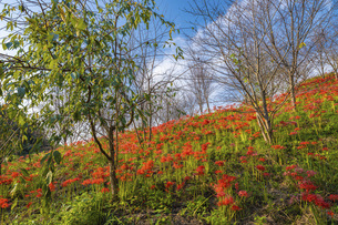【香川県 三豊市】彼岸花が満開の秋の宝山湖の写真素材 [FYI04942302]