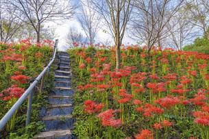 【香川県 三豊市】彼岸花が満開の秋の宝山湖の写真素材 [FYI04942304]