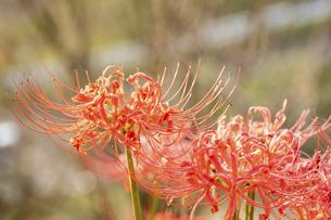 【秋】赤色の彼岸花の写真素材 [FYI04942306]