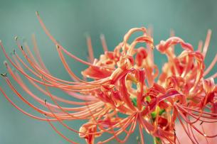 【秋】赤色の彼岸花の写真素材 [FYI04942308]