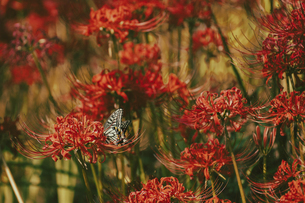 【秋】満開の赤色の彼岸花とアゲハチョウの写真素材 [FYI04942312]