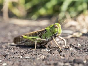 【昆虫】トノサマバッタの写真素材 [FYI04942356]