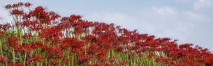 バナーサイズに切り抜いた彼岸花の花畑の写真素材 [FYI04942407]