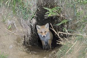 巣穴から出てきたキタキツネの子ども(北海道・知床)の写真素材 [FYI04942600]