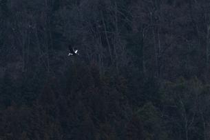 オオワシの飛翔の写真素材 [FYI04942809]