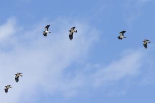 タゲリの飛翔の写真素材 [FYI04942811]