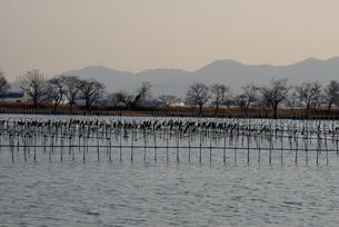 黄昏/琵琶湖湖畔に渡り鳥が飛来の写真素材 [FYI04943162]