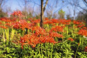 【香川県 三豊市】彼岸花が満開の秋の宝山湖の写真素材 [FYI04943332]