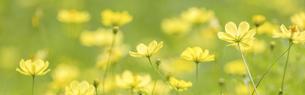 バナーサイズに切り抜いた黄色いコスモスの花畑の写真素材 [FYI04943372]