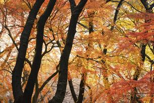 秋の楓の写真素材 [FYI04943446]