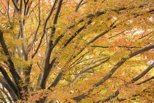 秋色の木々の写真素材 [FYI04943456]