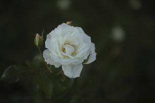 秋に咲いている白いバラの写真素材 [FYI04943476]