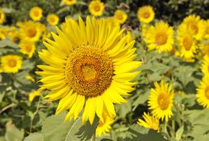 ひまわりの花の写真素材 [FYI04943580]