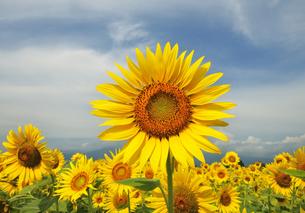 ひまわりの花の写真素材 [FYI04943581]