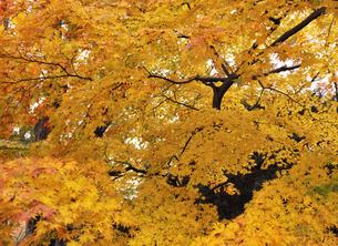楓の紅葉の写真素材 [FYI04943618]