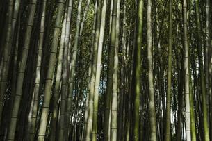 【京都府 嵐山】竹林の中の竹の写真素材 [FYI04944012]