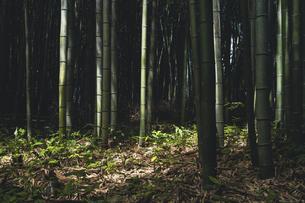 【京都府 嵐山】竹林の中の竹の写真素材 [FYI04944013]