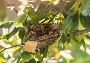 猛暑で口を開けて呼吸する孵化3日目の四羽のヒヨドリのヒナの写真素材 [FYI04944122]