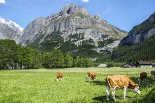 スイス、グリンデルワルドの大自然の中で草を食む牛の写真素材 [FYI04944221]