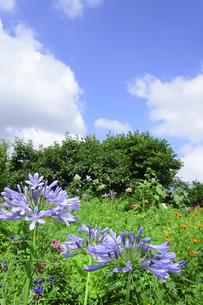 アガパンサス(ヒガンバナ科 / ムラサキクンシラン属(アガパンサス属)の紫色の花と木々とその他色々な色の花々と青空と白い雲のある光景の写真素材 [FYI04944285]
