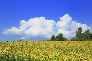北海道・美瑛町 ヒマワリ畑と入道雲の写真素材 [FYI04944388]