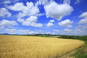 北海道・美瑛町 麦畑の丘と青空に雲の写真素材 [FYI04944401]