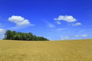 北海道・美瑛町 麦畑の丘と青空に雲の写真素材 [FYI04944404]