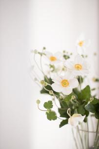 ガラスの花瓶に活けられた白い秋明菊の写真素材 [FYI04944425]