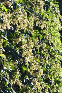 ホップ 雄花の写真素材 [FYI04944506]