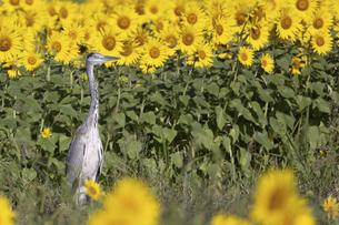 ヒマワリの花畑にたたずむアオサギの写真素材 [FYI04945049]